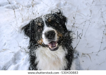 Bernese mountain dog and snow