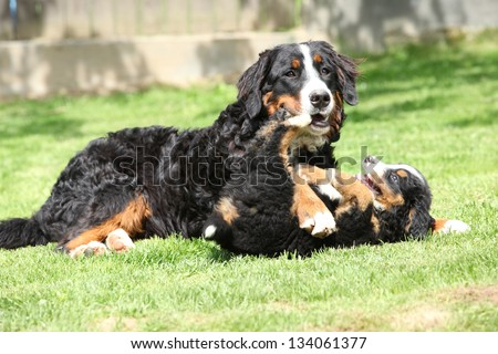 Bernese Mountain Dog bitch playing with puppy in the garden