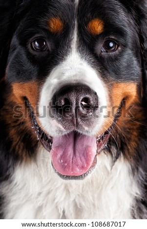 Bernese mountain dog looking directly at camera with happy face