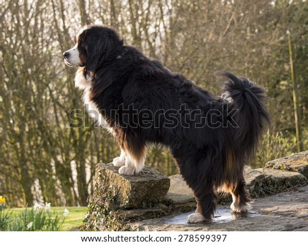 Bernese Mountain Dog portrait,UK. taken 15/04/2015