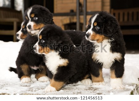 Bernese mountain dog puppets ready to join game