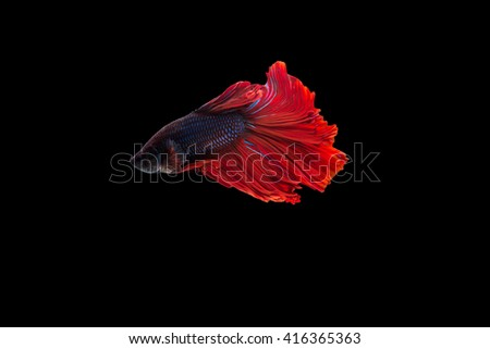 Beta fish select focus,siamese fighting fish, isolated on black background