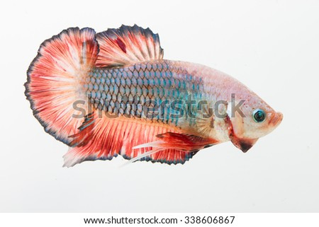 Betta fish  (fancy dragon) Hmpk or Siamese fighting fish on white background