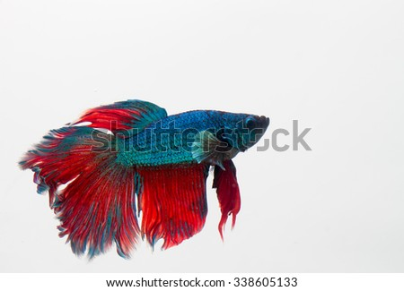 Betta fish  (half moon) or Siamese fighting fish on white background