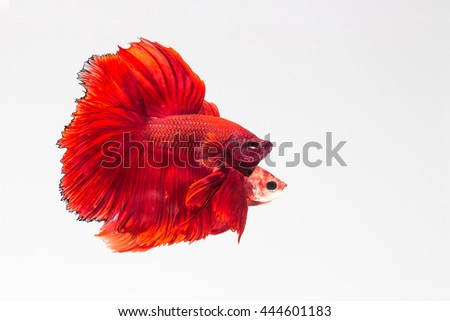 Betta splendens, Siamese Fighting Fish, red betta, betta fish on white background