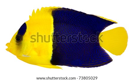Bicolor Cherub Angelfish isolated on white background. Oriole Angelfish. Blue and Gold angelfish. (Centropyge Bicolor)