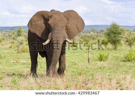 Big elephant bull with large tusks approaching over a savannah plain