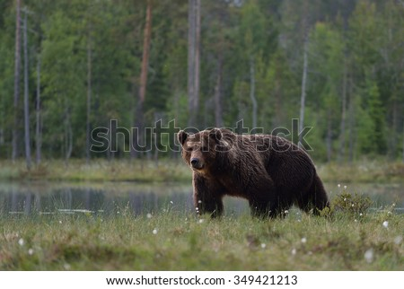 big male brown bear in moor with forest background