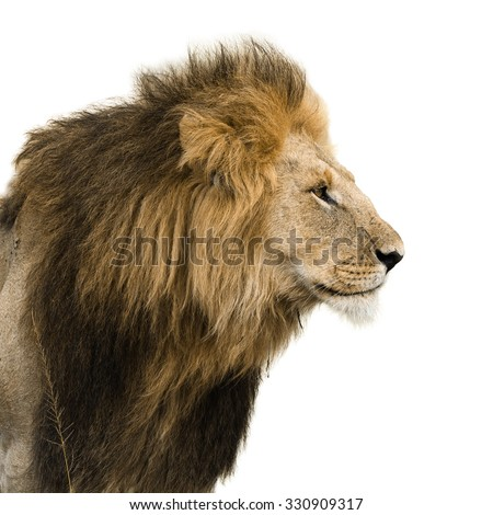 Big male lion isolated on white