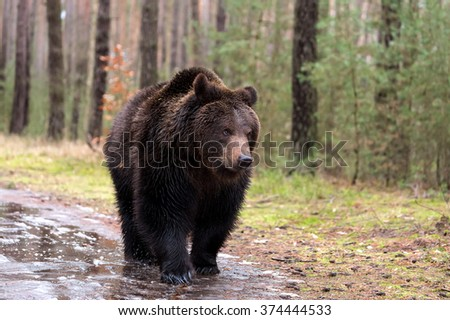 big male of brown bear (Ursus arctos) in winter forest, Europe, Czech republic