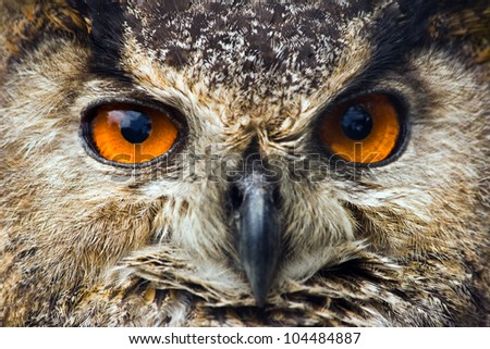 Big orange eyes of Eagle owl or Bubo bubo in close view