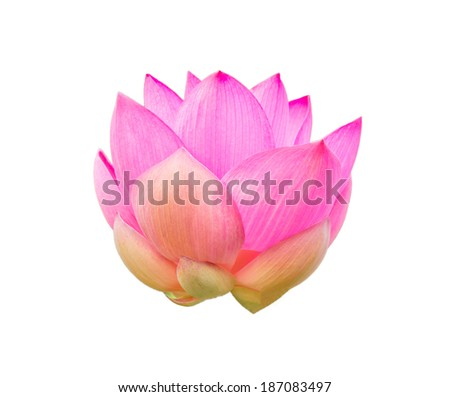 Big pink lotus isolated on white background