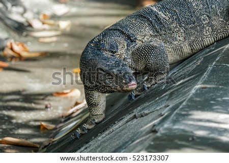 Big water monitor pauses to look