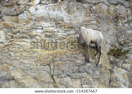 Bighorn Sheep (Ovis canadensis) male, ram, standing on cliff, Yellowstone national park, Wyoming Montana, USA.