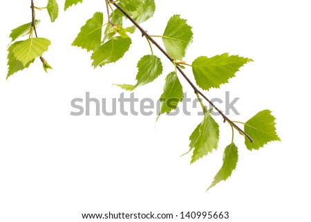 Birch leaves of the tree isolated on the white background.