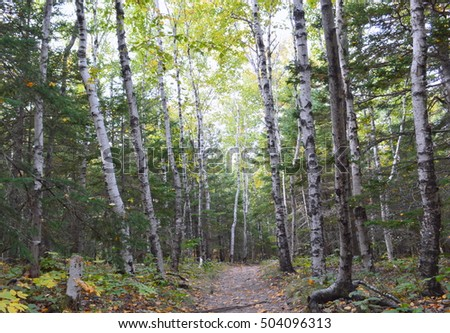 Birch tree forest in the Acadia National Park, Maine