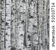 Birch Tree Forest, Large Aspen Pattern Background Copy Space