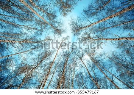 birch trees in the forest with no leaves beautiful sky with clouds low angle