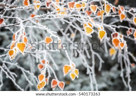 Birch yellow leaves in the frost as a background.