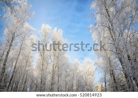birches all in white hoarfrost