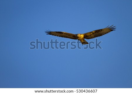 bird of prey  hawk flying on blue sky background