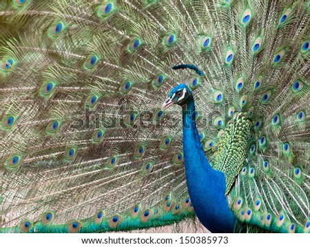 Bird peacock spread tail-feathers in thailand.