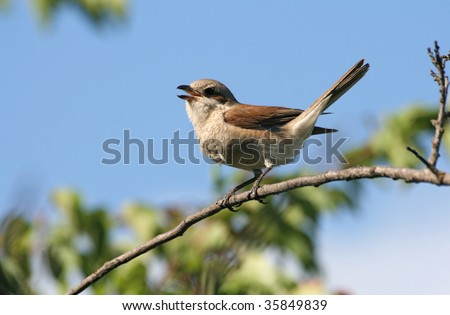 Bird (shrike) sitting on a branch