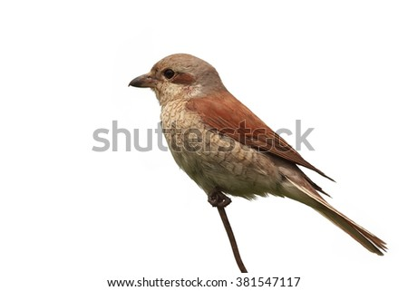 bird Shrike sitting on a branch on white background