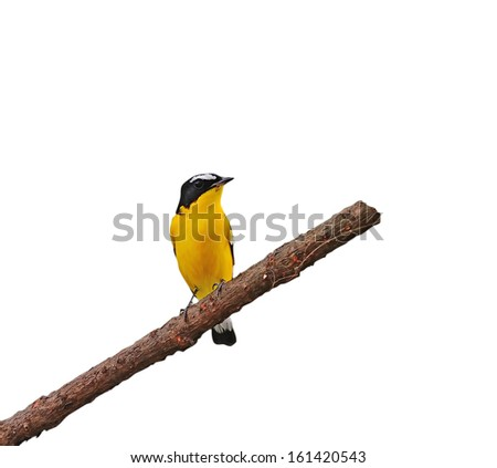 Bird Yellow on a branch (Yellow-rumped Flycatcher) isolated on white background