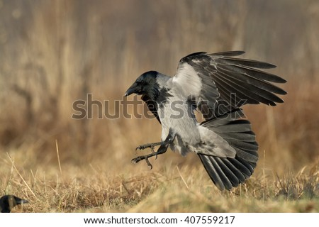 Birds - landing Hooded Crow (Corvus cornix)