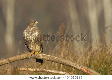Birds of prey - Common Buzzard (Buteo buteo). Autumn ton the meadow. Hunting time, searching something to eat.