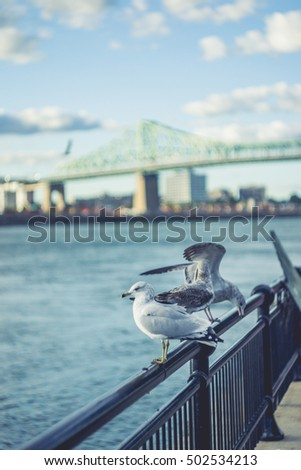 Birds on the Railing  with Jacques Cartier Bridge of Montreal Quebec Canada Background