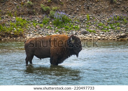 Bison Crossing a river in Yellowstone National Park