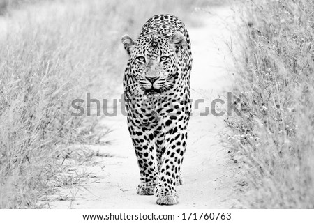 black and white of a big male Leopard walking