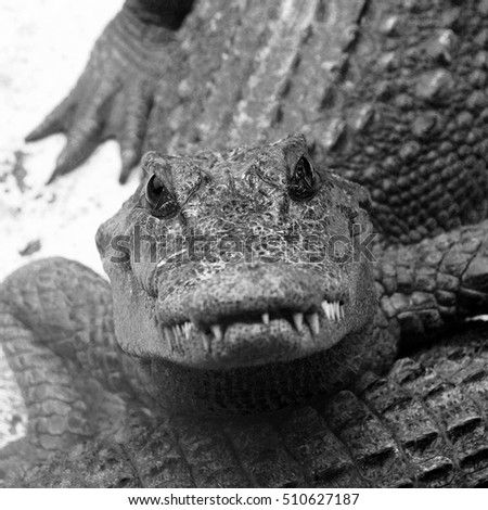 black and white photo Crocodiles close up in Thailand