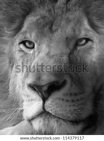 black white lion cub duo stock photo 69595141 shutterstock. Black Bedroom Furniture Sets. Home Design Ideas