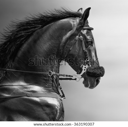 Black-and-white portrait of a sports stallion in a hackamore.