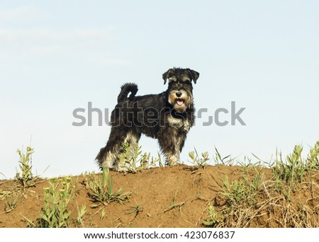 black and white shaggy dog are on the sand on blue sky background