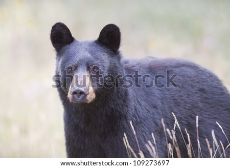 Black Bear closeup.
