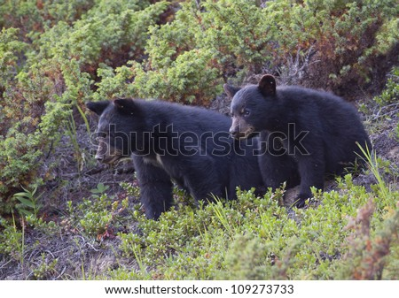 Black Bear cubs watching below.