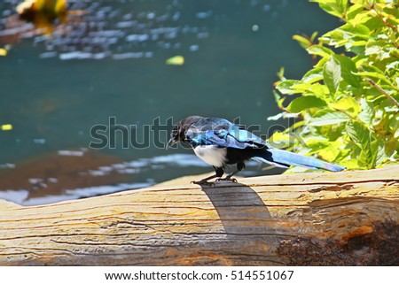 Black-billed magpie (Pica hudsonia) sits on a fallen tree by Cub Lake in Rocky Mountain National Park