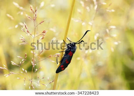 black butterfly creeps on a grass on a green meadow