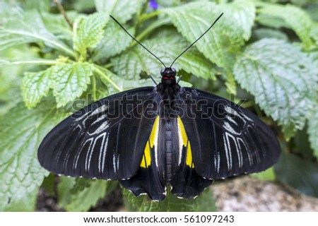 black Butterfly insect feeding on a leaf