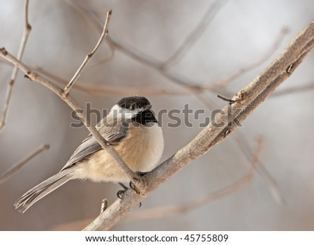 Black-capped chickadee (Poecile atricapilla) perched on a tree branch
