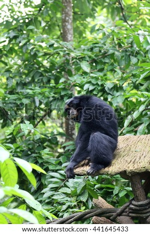 Black colored Siamang, also known as lesser ape, a special species which only exists in South East Asia