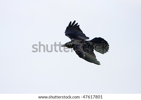Black crow in flight with wings spread.