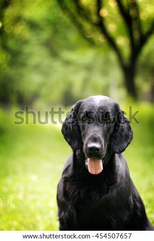black dog flat-coated Retriever summer outdoors portrait closeup with place for text