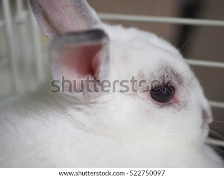 black eye from backside of white rabbit looking with soft focus of background