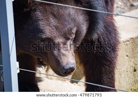 Black Himalayan bear closeup in the daytime