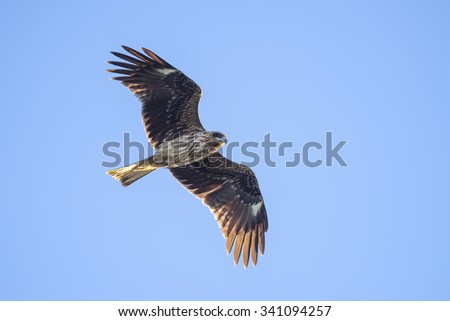 Black kite flying against clear sky.